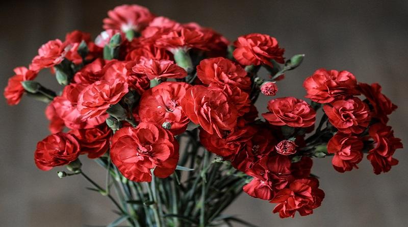 carnation-1488929_1920