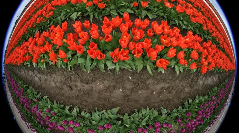 tulips-175596_1920